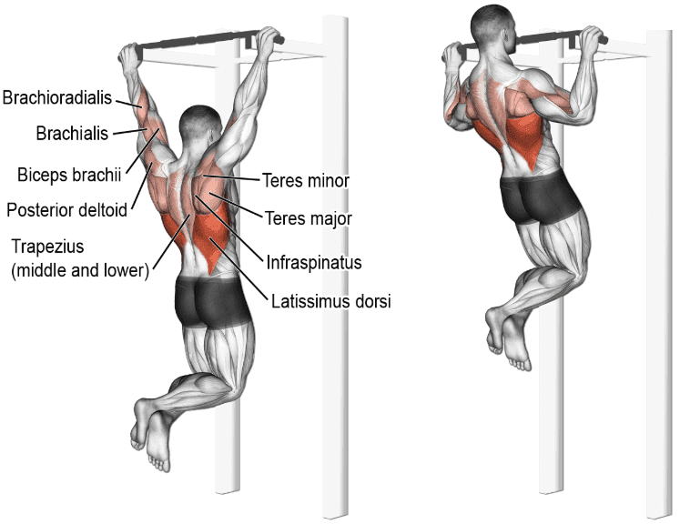 Muscles used during a pull-up, back workout